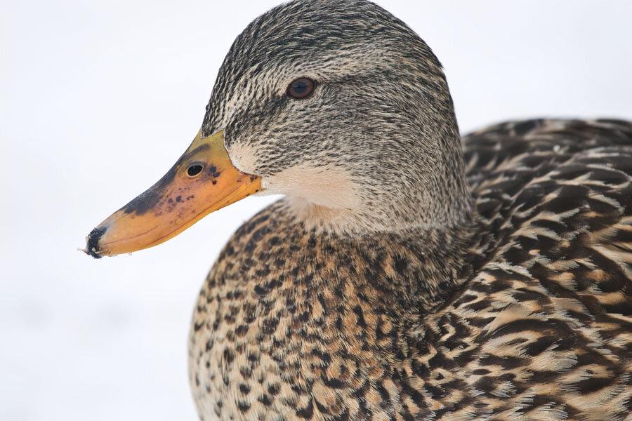 Еще птички, что остались почему-то зимовать в Калгари.