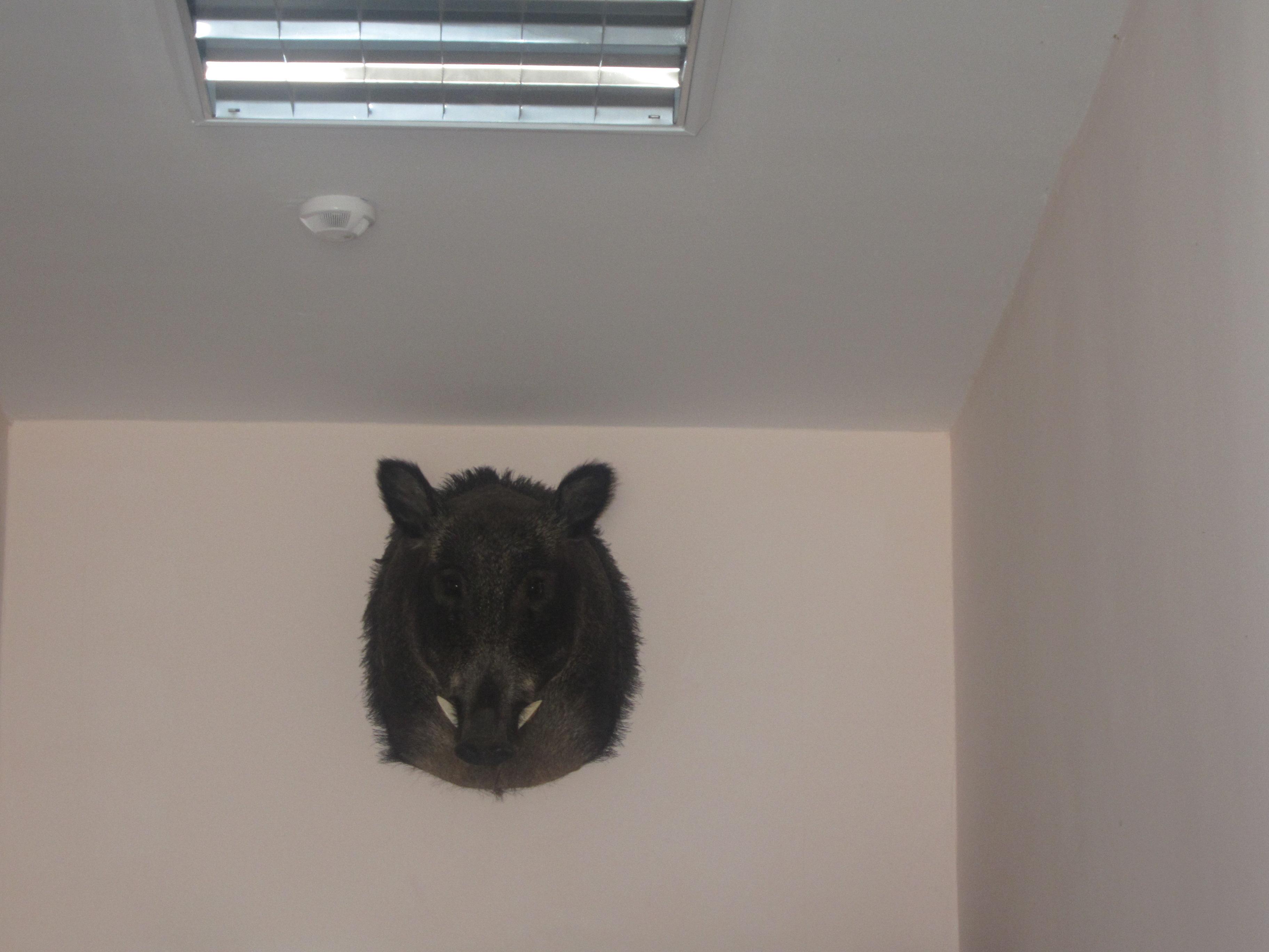 Кабанья голова под потолком (25.06.2013)