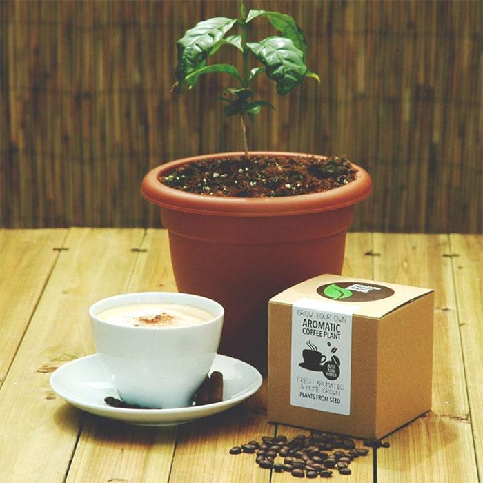 Набор для выращивания кофейного дерева.