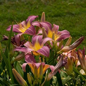 Лилейники в Саду Дракона летом 2011г 0_63738_4adfcae2_M