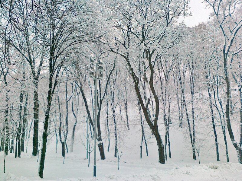 Деревья в районе памятника Владимиру