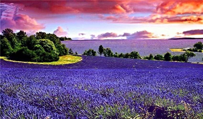 Purple landscapes of Provence_1
