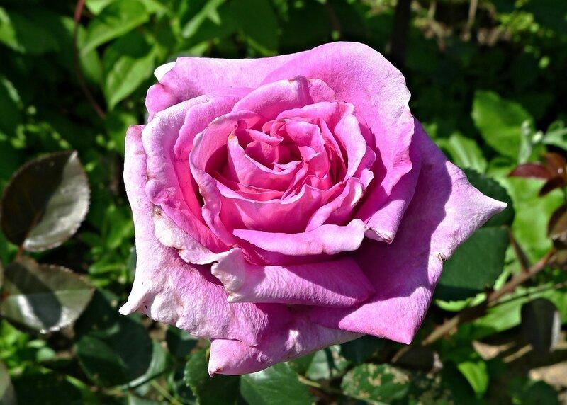 Роза Шартрез де Парм (Delbard)