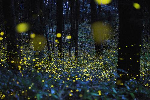 Gold Fireflies in Japan