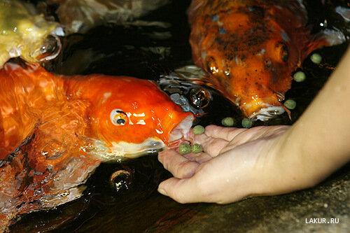 японские карпы кои fanta sea