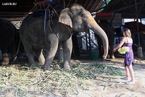 катание на слонах бананы кормление слон