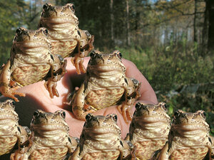 фотожаба с жабами