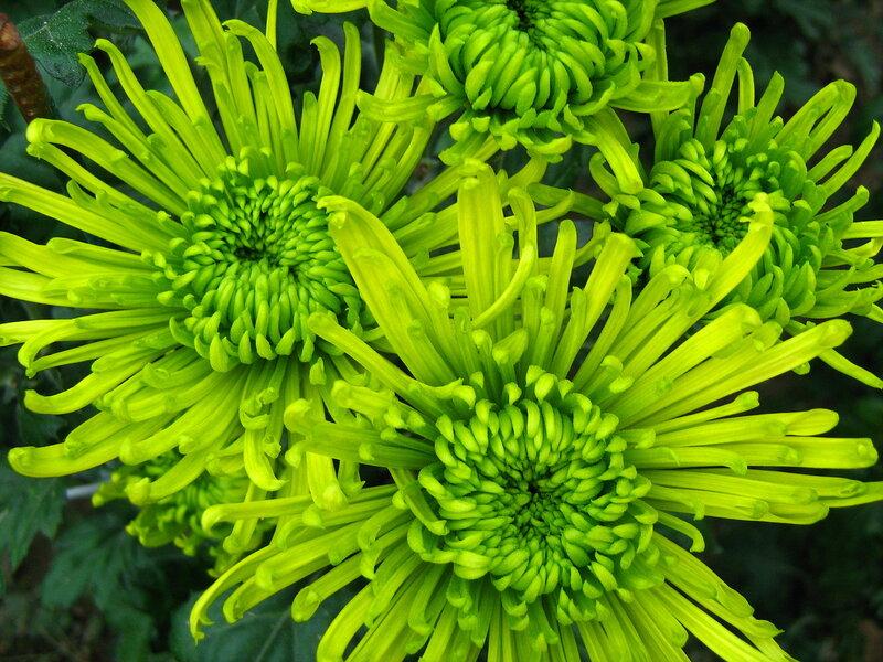 Зелёная хризантема