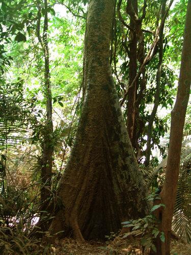 Дерево-эмержент