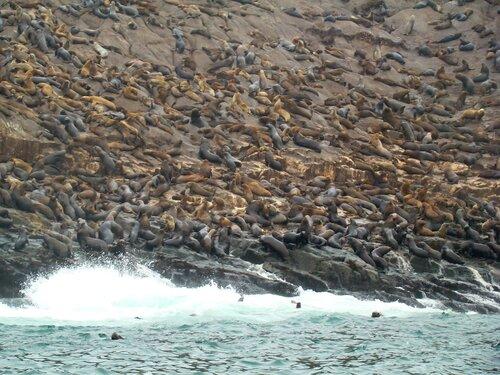 колония морских котиков
