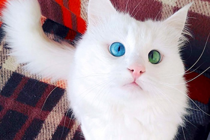 Кот с разноцветными глазами стал самым красивым