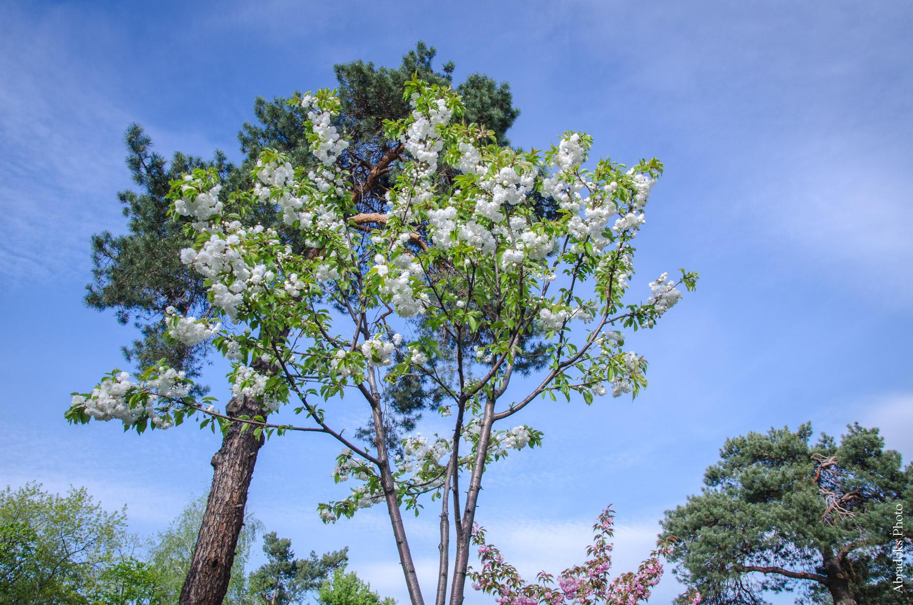 Цветение сакуры в парке Киото
