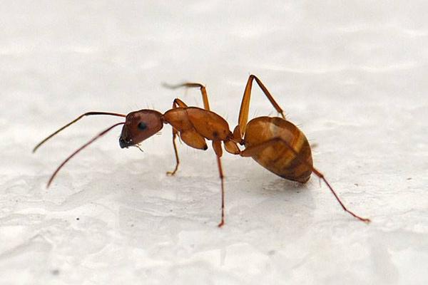 Как выглядит рыжий муравей