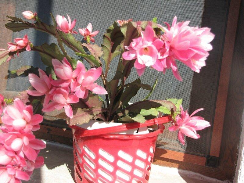Буйное цветение кактуса