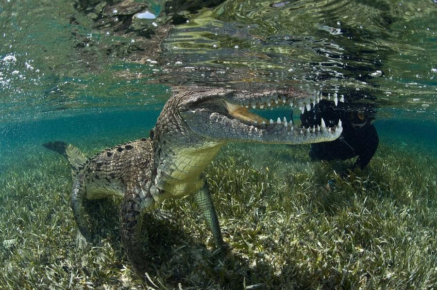 Подводная прогулка с крокодилами (10 фото)