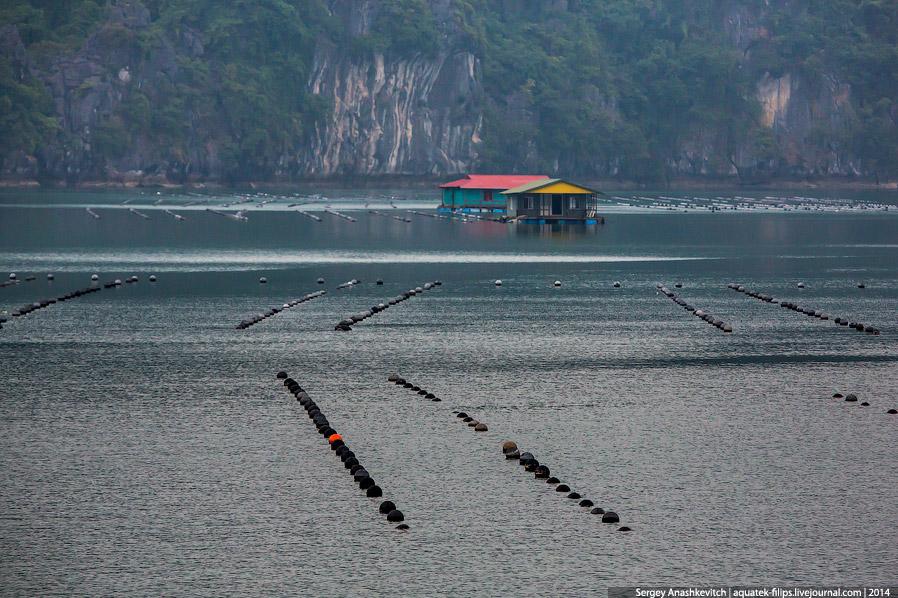 3. Моллюсковые поля расположены поблизости или вокруг вот таких плавучих ферм. Именно здесь жив