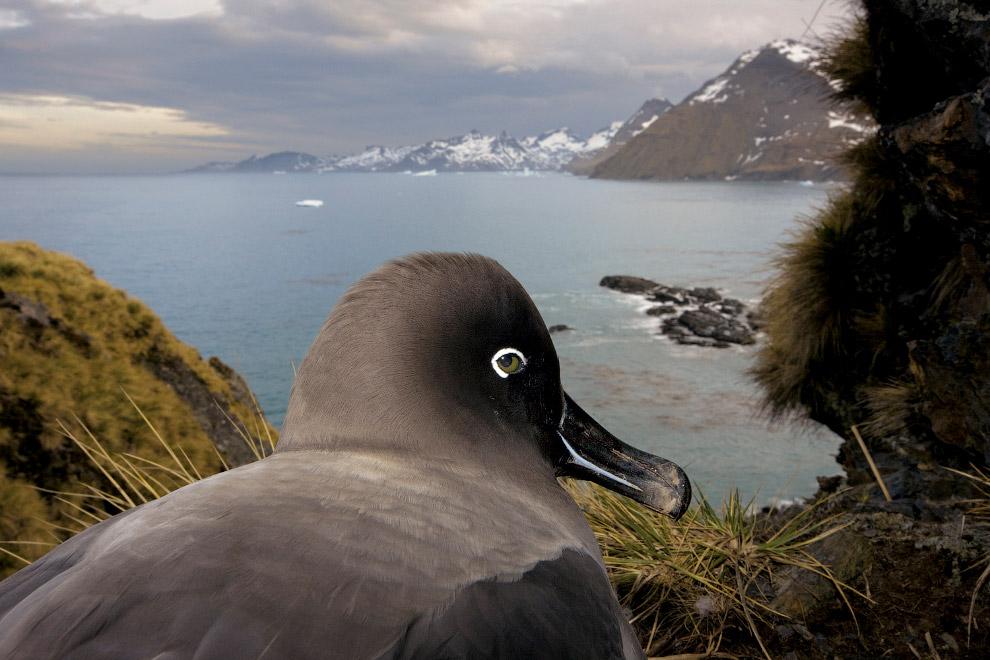 14. Странствующие альбатросы. Самыми крупными альбатросами и одними из самых крупных летающих п