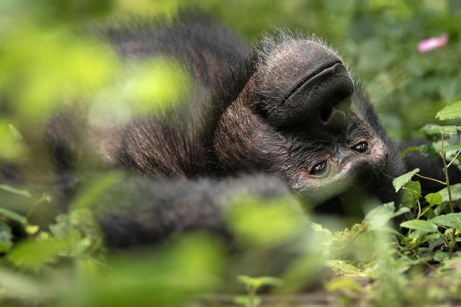 11. Шимпанзе-мечтатель.