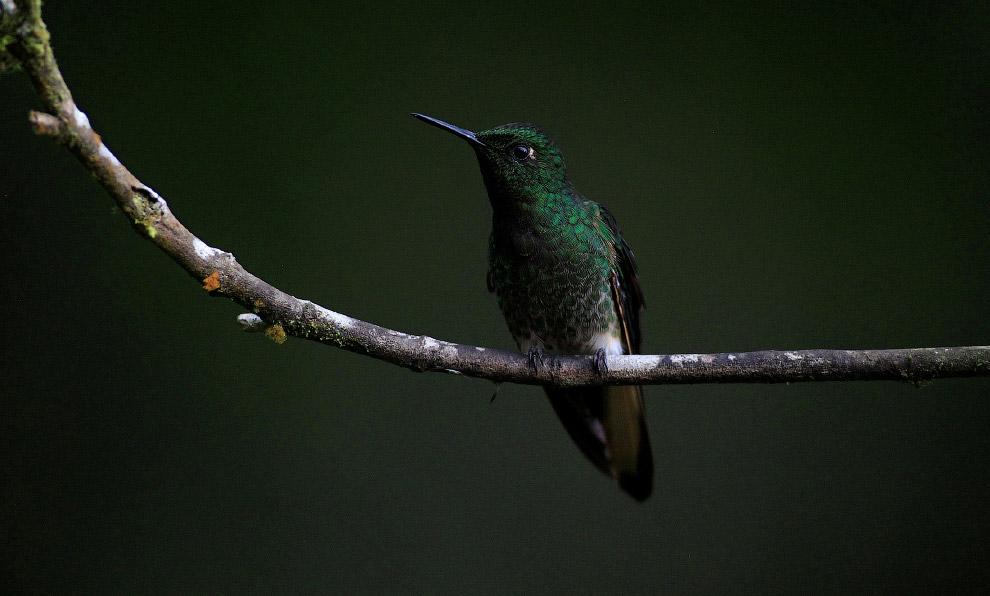 3. Самый крупный вид — исполинский колибри (Patagona gigas), с прямым длинным клювом и вилообра