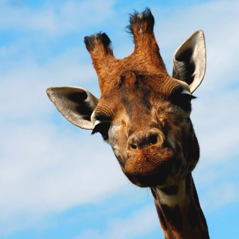 4. Жирафы не слишком разговорчивы, звуки они издают нечасто. В основном, в младенческом возрасте, от