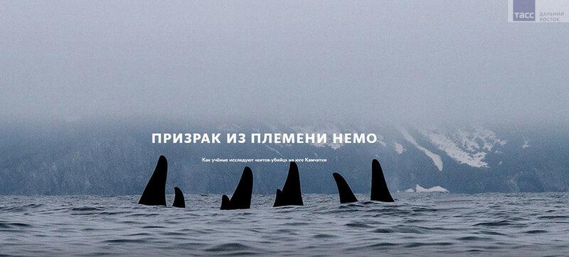 Призрак из племени Немо: как учёные исследуют «китов-убийц» на юге Камчатки