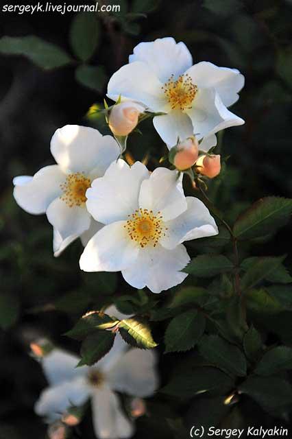 Rosa Kew Gardens (10).JPG