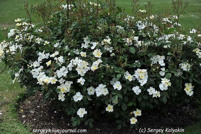 Rosa Kew Gardens (47).JPG