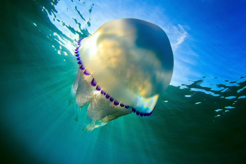 Медузы имеют самые разнообразные размеры. Диаметр их «купола» может составлять от 3 миллиметров, раз