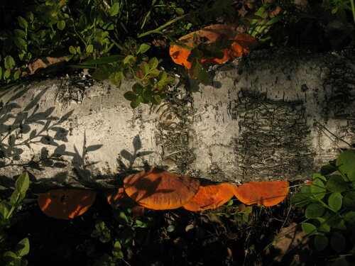 Трутовик киноварно-красный (Pycnoporus cinnabarinus) Автор: Станислав Кривошеев