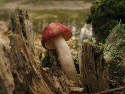 Рядовка желто-красная (Tricholomopsis rutilans) Автор: Станислав Кривошеев