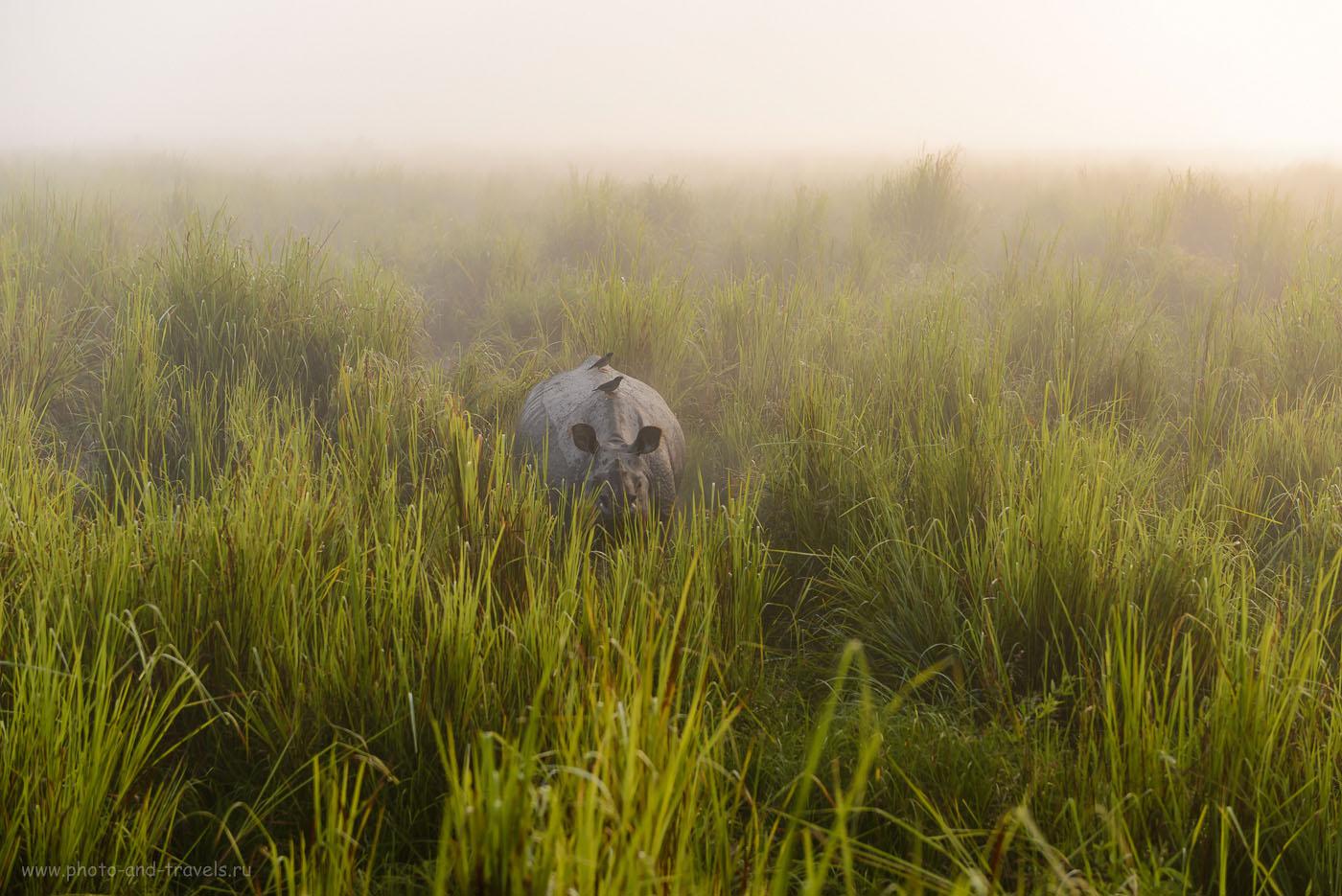 Фотография 8. Носорог в национальном парке Казиранга в индийском штате Ассам. Отчеты о сафари на слонах. 1/800, -0.33, 3.5, 200, 70. Объектив: Nikon 24-70mm f/2.8G