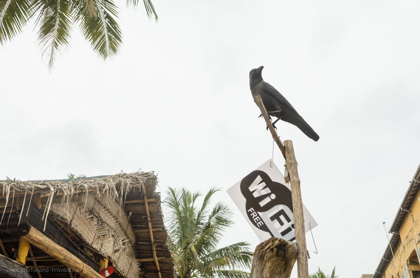 """Фото 12. """"Продвинутые"""" вороны на пляже Хиккадува (Hikkaduwa), что на Шри-Ланке. Как мы арендовали машину и путешествовали по острову самостоятельно. Отзывы туристов."""