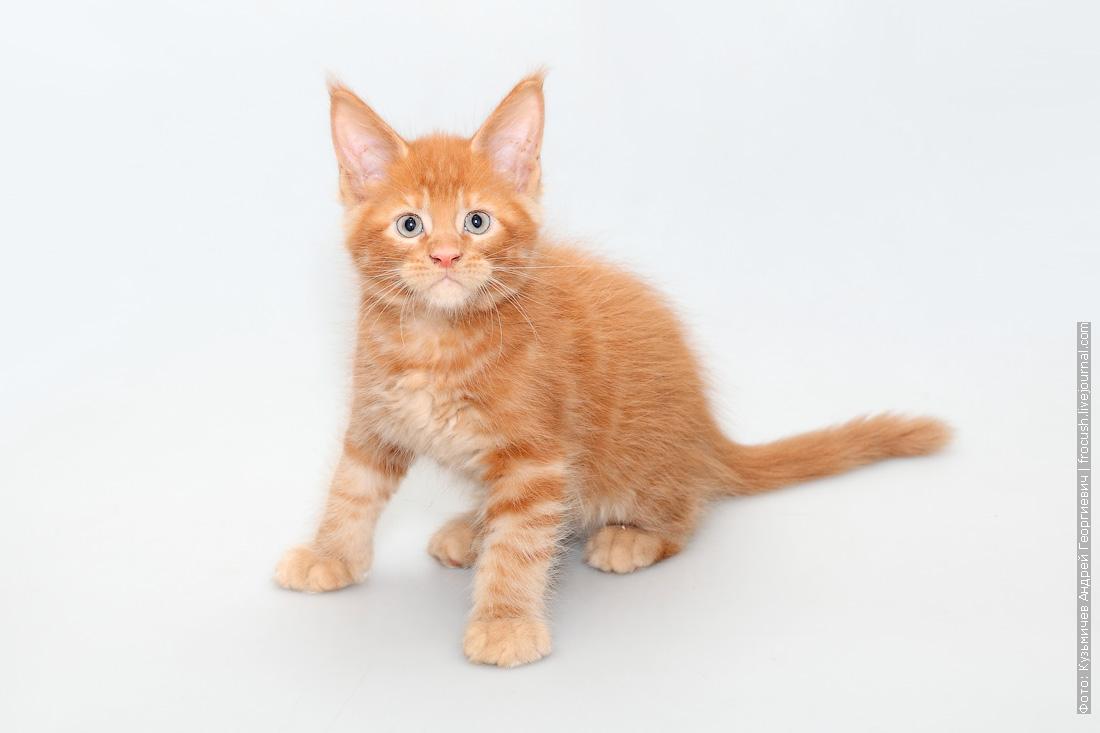 продам котенок мейн-кун питомник в Москве