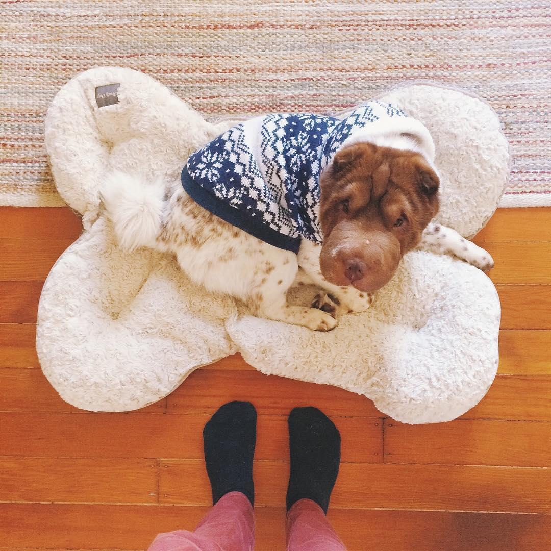 Миниатюрный шарпей выглядит как смесь собаки и медведя