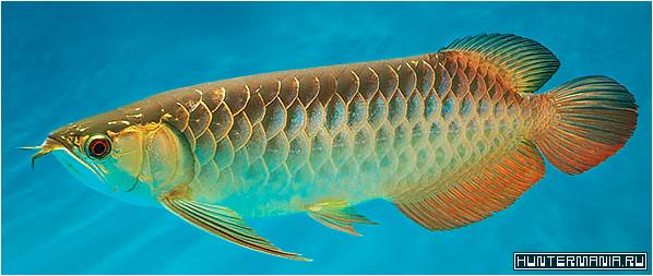 Самая дорогая аквариумная рыбка Platinum Arowana
