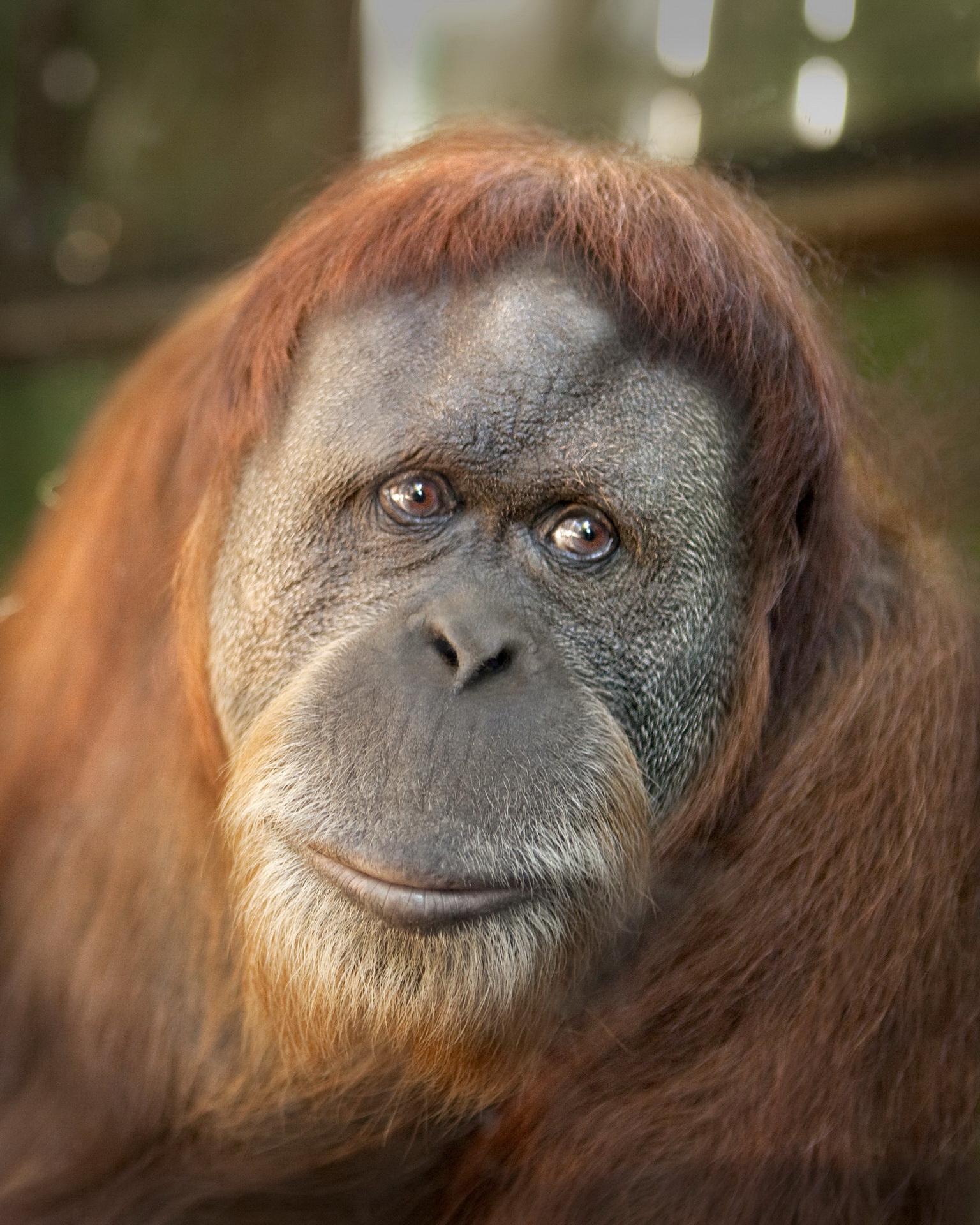Сумна мавпа