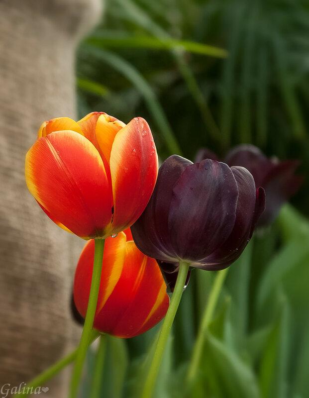 Зарисовка с тюльпанами