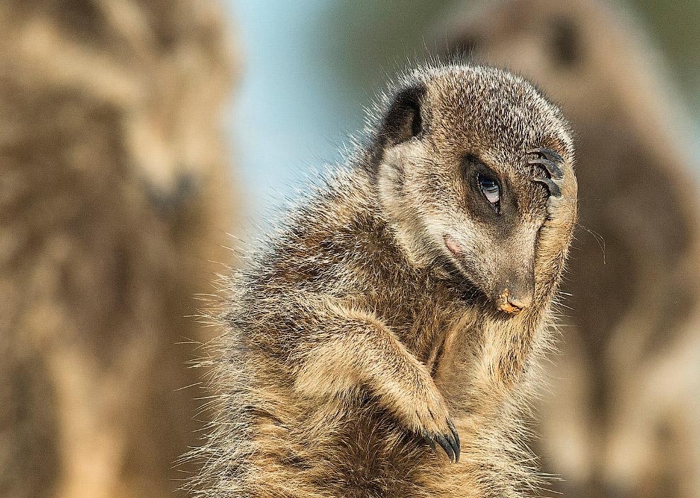 13. Воткнулся. Лиса охотится в Йеллоустонском национальном парке. (Фото Angela Bohlke   Barcrof