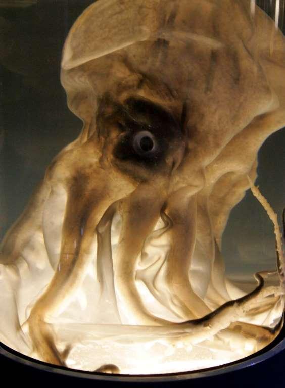 4. Гигантский кальмар.