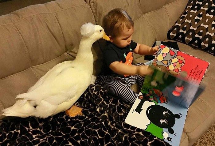 Утка Бикер стала защитницей и верным другом для малыша