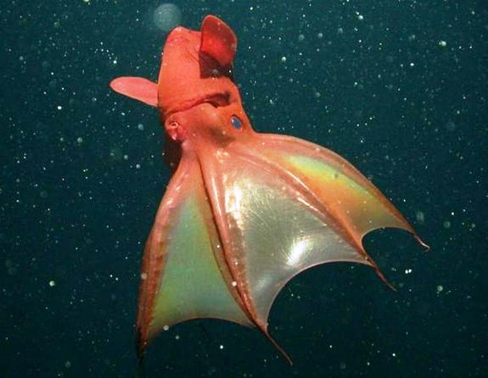 Животное это, называемое также адским кальмаром-вампиром, считается одним из самых уникальных и зага