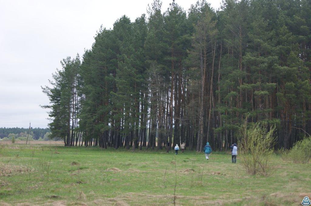 Сосновая посадка возле реки Боромля