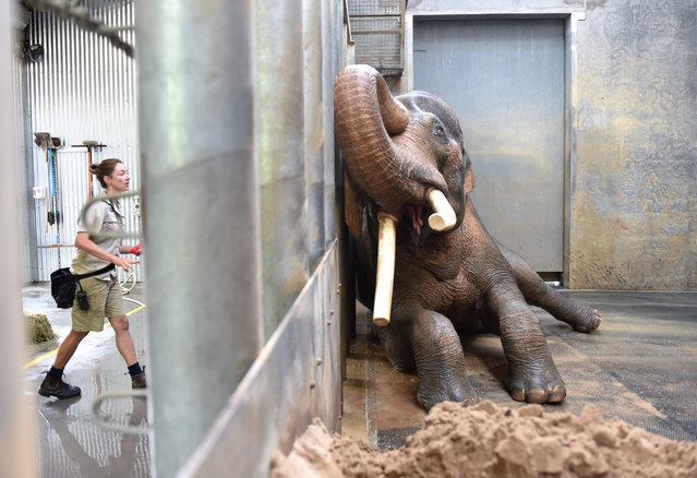 Keeper Lucy Truelson (L) washes Asian elephant bull Bong Su as it lies against the barrier in its en