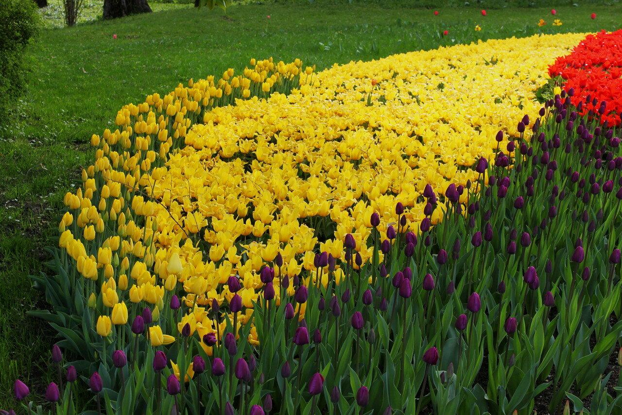 Сектор жёлтых тюльпанов