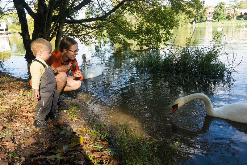 кормление лебедей на реке Силе в Тревизо