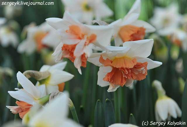 Narcissus Candy Princess (1).JPG
