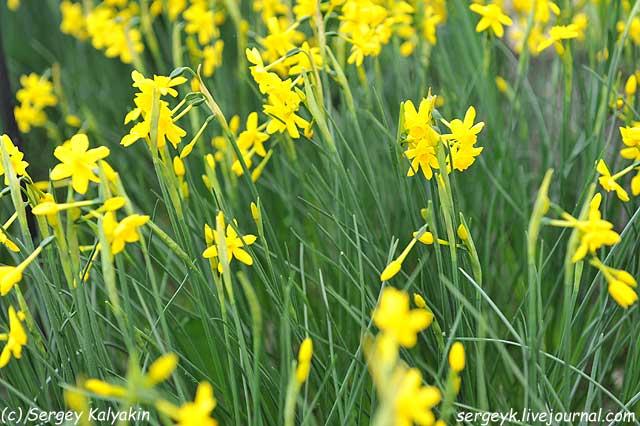 Narcissus Twinkling Yellow (3).JPG