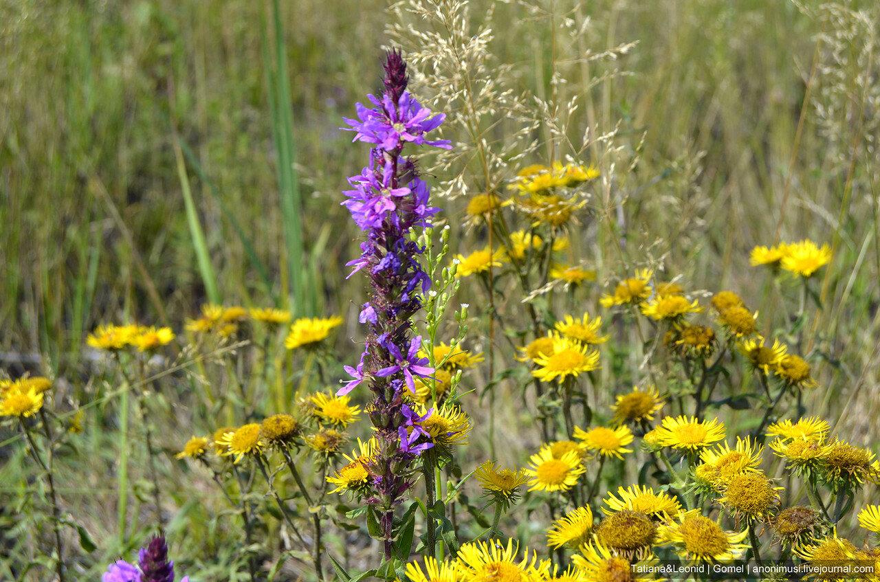 полевые цветы подмосковья фото с названиями выложила фото именно