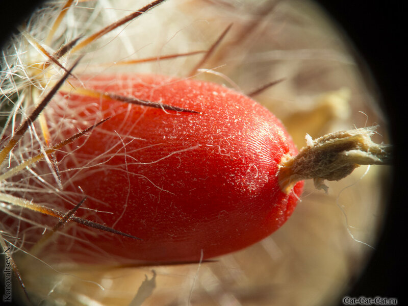 Плод (ягода) кактуса Маммиллярия