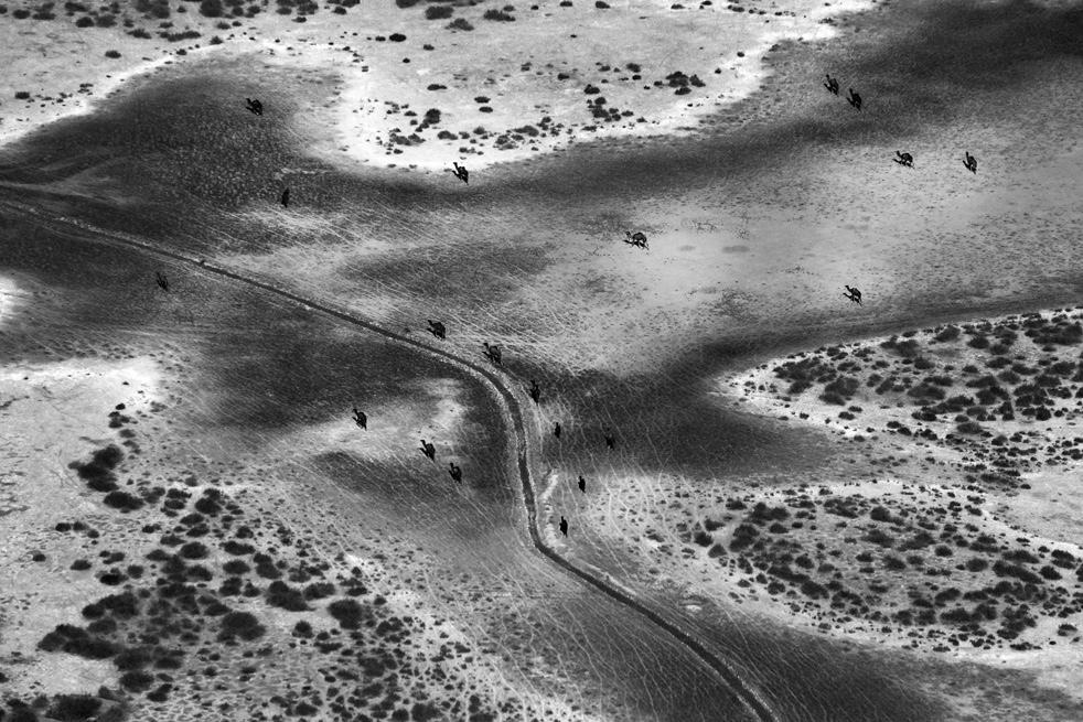12. Верблюды на территории провинции Гильменд 25 января. (AP / Kevin Frayer)